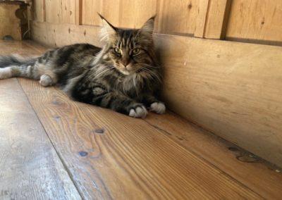 pavimento in legno con gatto